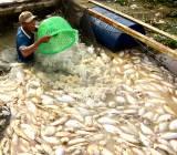 1.000 tấn cá bè chết trên sông La Ngà – Đồng Nai