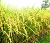 Dự báo thị trường lúa gạo thế giới
