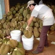 Sự thật về chất làm chín trái cây Ethephon