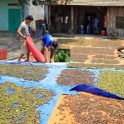 Người dân Kon Tum đổ xô vào rừng lấy trái ươi bán cho thương lái