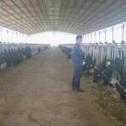 Tây Nguyên: 'Đại gia' gỗ đua nhau nuôi bò, nỗi lo không nhỏ