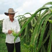 Vì lợi trước mắt người trồng thanh long rời bỏ VietGAP?