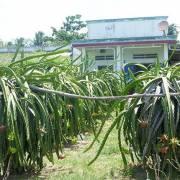Bình Thuận làm tour du lịch đến vườn thanh long