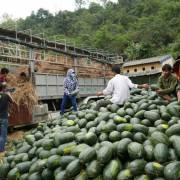 Bộ Công Thương cảnh báo giá dưa hấu tại Trung Quốc giảm sâu