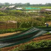 Cẩm Thanh: Vườn rau xanh mướt một màu…