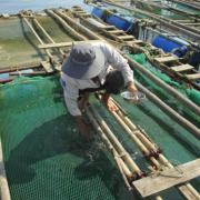 Cá mú nuôi lồng chết hàng loạt ở Quảng Ngãi