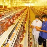 Chăn nuôi gia cầm: tự tin xuất khẩu