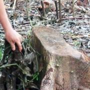 Cảnh báo việc thương lái mua rễ tiêu bán cho Trung Quốc