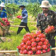 Xuất khẩu nông sản vào Hàn Quốc: cửa lớn nhưng khó qua
