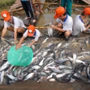 Năm 2018, Trung Quốc có thể sản xuất 30.000 tấn cá tra giá cạnh tranh với VN