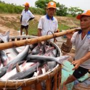 Cá tra Việt Nam đã lên sàn thương mại điện tử Alibaba