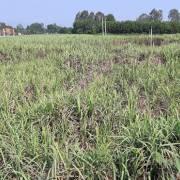 Quảng Ngãi: Mía chín rục đồng, nông dân khốn khó