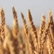 Mỹ thắng kiện Trung Quốc tại WTO liên quan tới việc áp thuế ngũ cốc