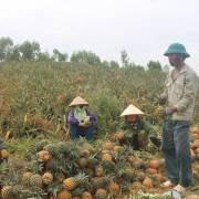 Trái thơm mất giá, nông dân lại phải đổ bỏ