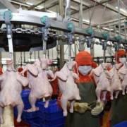 CP sẽ xuất khẩu thịt gia cầm đã qua chế biến