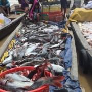 Hàng chục tấn cá nuôi bè ở Đồng Nai chết trắng