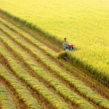 ĐBSCL: Không dễ thay đổi chiến lược với cây lúa