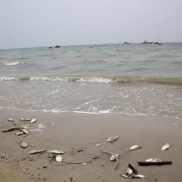 Đà Nẵng: Cá chết lại tiếp tục xuất hiện