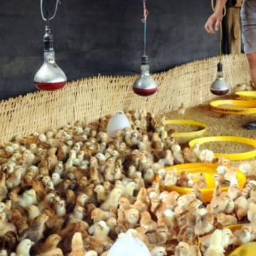 Cục Thú y phủ nhận đề xuất cho nhập khẩu gà từ Trung Quốc