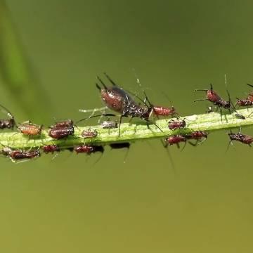 Nông dân Uganda sử dụng thuốc trừ sâu hữu cơ