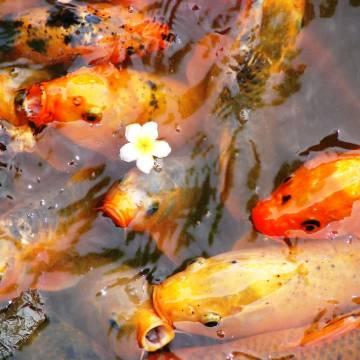 Bình luận thị trường: Cá chép và thiên nga