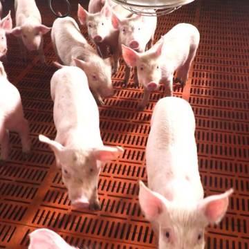 Lo ngại hiệu ứng thua lỗ dây chuyền từ dịch tả lợn