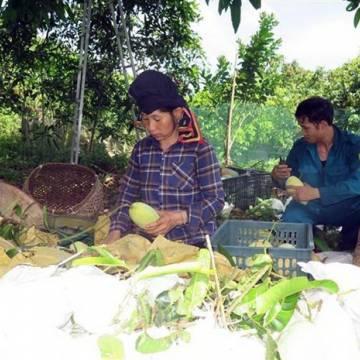 Lô xoài đầu tiên của tỉnh Sơn La được xuất sang thị trường Anh