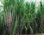 Úc tăng nhập khẩu mật rỉ đường từ Việt Nam