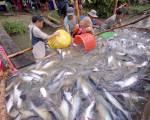 Mỹ, Trung Quốc tăng mua cá tra Việt Nam