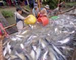 Xuất khẩu cá tra sụt giảm mạnh