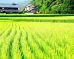 Nhật Bản phát triển giống lúa mới có khả năng chịu mặn