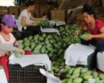 Trung Quốc mở cửa với xoài Campuchia, áp lực lớn cho xoài Việt