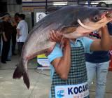 [Photo]:  Vinh danh loài cá ngon mẹ Mekong ban tặng