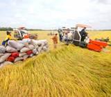 Xuất khẩu gạo: làm sao để doanh nghiệp và nông dân cùng hưởng lợi?