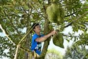 Thái Lan cho vay nợ bằng cầm cố cây trồng