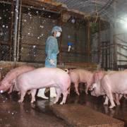 TPHCM: Đề xuất tiêu hủy ngay gia súc sử dụng chất cấm