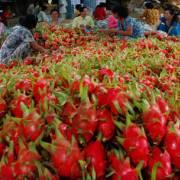 Người Trung Quốc 'thao túng' thị trường thanh long bằng visa du lịch