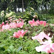 Hoa ly nở chết người