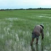 ĐBSCL: Nông dân  lo cứu lúa hơn đón tết