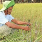 Nông dân bán ruộng lúa vừa sạ để tránh hạn, mặn kỷ lục