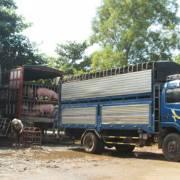 Ngân hàng bảo đảm nguồn vốn lâu dài cho chăn nuôi heo