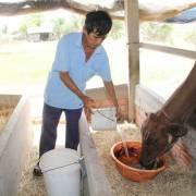 Hạn hán khốc liệt, trâu bò phải uống nước mặn qua ngày