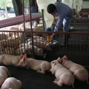 Chăn nuôi heo, dân đang mù thông tin