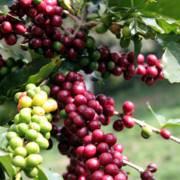 Xuất khẩu cà phê tăng 25,6%, giá tăng gần 12.000 đồng/kg