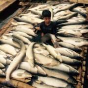 Công ty mía đường Hòa Bình đền bù hơn 1,4 tỷ đồng vụ cá chết trên sông Bưởi
