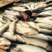 Vụ cá chết trên sông Bưởi 'không lớn'