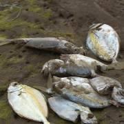 GS Phạm Hùng Việt: Phân tích hai nguyên nhân cá chết, độc tố hóa học hay thủy triều đỏ?