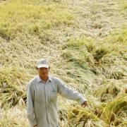 ĐBSCL: Mưa về lúa đổ, nông dân lại điêu đứng