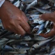 Không hủy kết quả vụ '30 tấn cá nục nhiễm chất phenol'