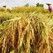 Năm 2016 sẽ xuất khẩu khoảng 5,7 triệu tấn gạo